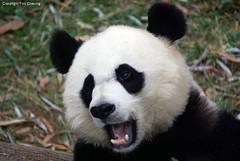 Mei Xiang, looks like a happy little cubby here (foocheung) Tags: panda nationalzoo pandas tiantian meixiang taishan
