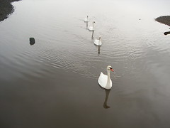 Swans 04 (Vintage Ikon) Tags: sea milford on