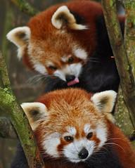 Red Panda Twins: Sandy & Mandy (Gary Wilson แกรี่ วิลสัน) Tags: ireland dublin cute animal canon mammal eos 350d zoo twins europe panda wildlife adorable redpanda endangered creature phoenixpark ailurusfulgens dublinzoo lesserpanda