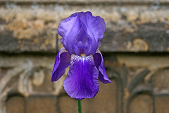 iris (Leo Reynolds) Tags: iris blur flower canon eos iso100 flora f4 30d 36mm 0ev hpexif 0002sec leol30random groupobjectblur grouputata xxblurbbookxx xxblurbbookcoffeetablexx xleol30x groupsuffolk xratio3x2x xxx2008xxx