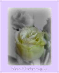 My gift to you..... (sallysue007) Tags: flower rose lemon pastel goldstar golddragon diamondclassphotographer flickrdiamond floraandfaunaoftheworld goldstaraward dragongoldaward