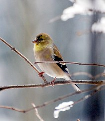 Finch - American Goldfinch (blmiers2) Tags: winter wild snow newyork bird nature beautiful birds yellow geotagged photo photos wildlife goldfinch finch finches photographs avian americangoldfinch smallbirds carduelistristis goldfinches fringillidae passeriformes backyardbirds birdphoto finchbird finchbirds natureinwinter thegoldfinch goldfinchbird goldfinchphoto goldfinchphotos blm18 blmiers2