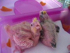 Cheerful (shimmertje) Tags: baby white black bird gold grey coast pin african lj feather lisa tinkerbell parrot cockatiel congo kc shanlung cag