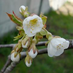 Cerisier fin mars d