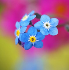 /Myosotis scorpioides (nobuflickr) Tags: flower nature japan kyoto naturesfinest myosotisscorpioides supershot thekyotobotanicalgarden mywinners colorphotoaward macrophotosnolimits themacrogroup myosotisscorpioides