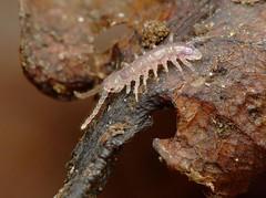 young centipede DSCF3731