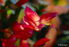 Schlumbergera (Christmas Cactus hybrid) flower (Martin_Heigan) Tags: christmas camera pink light cactus sunlight flower macro nature digital southafrica succulent nikon dof close martin bokeh photograph d200 dslr hybrid schlumbergera suidafrika 60mmf28micro fantasticflower nikonstunninggallery heigan anawesomeshot fiveflickrfavs 28april2008 mhsetsucculents mhsetbokeh mhsetflowers