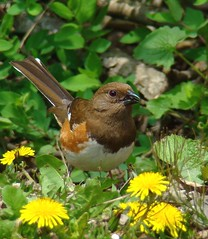 Eastern Towhee - Female (VonShawn) Tags: birds towhee birdwatcher easterntowhee avianexcellence incrediblenature goldstaraward femaleasterntowhee