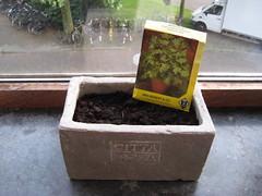 Julivert segona sembrada (Xesc) Tags: planten plantes insulindeweg julivert hortet