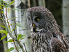 Great Gray Owl, focused (annkelliott) Tags: alberta canada swofcalgary nature ornithology avian bird birds birdofprey owl greatgrayowl greatgreyowl strixnebulosa strigiformes strigidae strix perched fencepost frontsideview lowlight hunting tree trees forest bokeh outdoor spring 8june2016 fz200 fz2003 annkelliott anneelliott ©anneelliott2016 ©allrightsreserved excellence avianexcellence