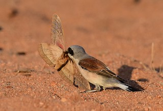 Red-backed Shrike  Lanius collurio