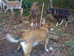 jane likes goats!