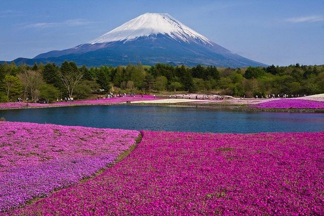 富士山下的芝樱-2009