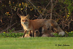 Mother Red Fox-5785 (Phil Johnson 2008) Tags: nature animal wisconsin wildlife redfoxfamily redfox redfoxkits