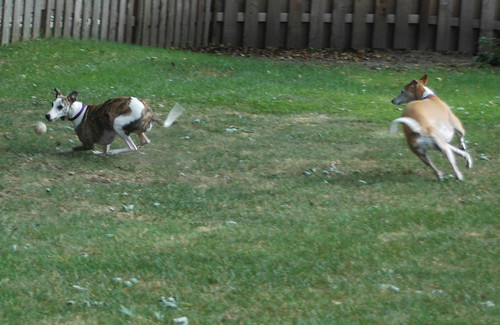 Pandora and Athena chasing ball