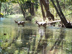 Whitetail Deer (Adventurer Dustin Holmes) Tags: playing nature animals creek swimming mammal outdoors photography stream wildlife drinking doe deer fawn does bathing mammals 0000001 whitetail