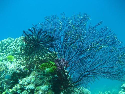 Makogai coral 1