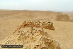 Gecko (Ptyodactylus guttatus) מניפנית מצויה
