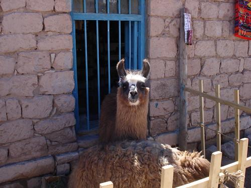 Llama Macarena