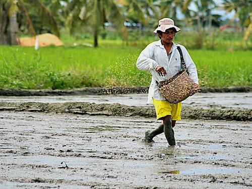 farm farmer farming rice planting seedling Malapatan Sarangani Philippines,Pinoy,Life,city,rural Filipino Pilipino Buhay  people pictures photos life Philippinen  菲律宾  菲律賓  필리핀(공화국) Philippines