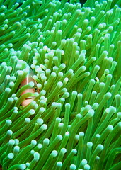 I See You (p@ragon) Tags: sea green water underwater philippines scuba diving clownfish anemone anilao batangas reef anemonefish coralreef paragon supershot tropicalreef abigfave aplusphoto wpdc9 superbmasterpiece