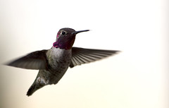 Hummingbird Dive Bomber