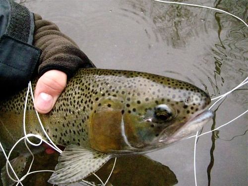 Lower Gunpowder River Rainbow