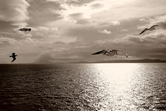 my life as a gull (♫ marc_l'esperance) Tags: ocean light sea sky blackandwhite bw cloud sunlight seagulls seascape canada bird nature water monochrome birds contrast canon reflections dark eos freedom reflecting flying wings raw britishcolumbia seagull gull gulls horizon © 10d vista soaring gliding nocrop uncropped allrightsreserved 2007 cml blueribbonwinner 123bw canonef24mmf28