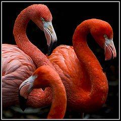 flamingo's (qletsqop) Tags: orange birds wildlife vogels flamingos oranje polaris aesthetic cubism blueribbonwinner naturescall 35faves specanimal golddragon abigfave colorphotoaward avianexcellence goldstaraward qletsqop treeofhonor