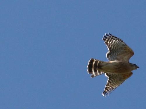 hawk close up 4