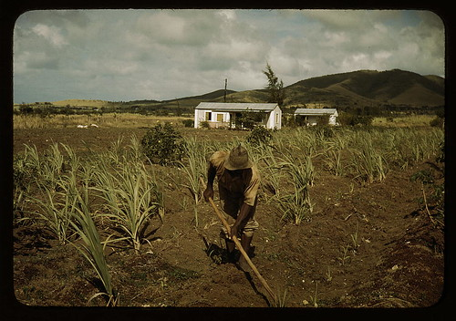 Farm Security Administration borrower cultivating his sugar cane field,  vicinity of Frederiksted,  St. Croix,  Virgin Islan...