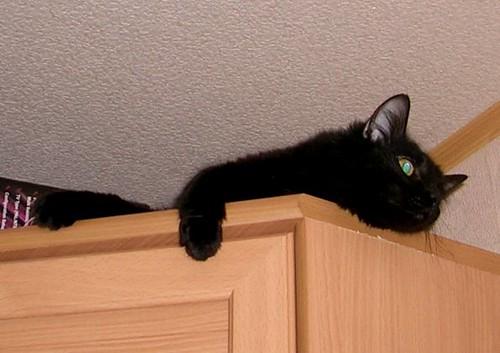 Kucing Anggora Hitam Keren