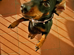 (donmimi83 ( away )) Tags: dog cane jump nikon dachschund bat smith perro emy 2008 bassotto oneyearonflickr 1yearonflickr birthdaytoday donmimi83