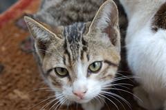 Cats (árticotropical) Tags: cats dubai