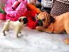 *SMILING PUG* - HAPPY VALENTINE'S DAY, GIFT IDEA , PUG CERAMIC *-* (*SMILING PUG*) Tags: b dog bunny love smile smiling thailand happy holidays bangkok c smiles pug valentine mel valentines pugs buggy puggy k9 bambam กรุงเทพฯ ไทย หมา bugboy สุนัข bugbaby smilingpug ปั๊ก หมาปั๊ก สุนัจ วาเลนไทน์ ลูกสุนัข พันธุ์ปั๊ก หน้าย่น