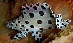 Barramundi Cod - Cromileptes altivelis by Stephen Childs, on Flickr