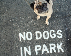 The Defiant One (Laura Bee Seattle) Tags: pug dogpark