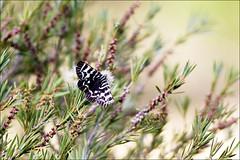 Mistletoe Moth (aaardvaark) Tags: moth australia lepidoptera nsw mistletoemoth comocrusbehri lacmalac 2008030827989~mothqqgoobragandra goobragandrariver
