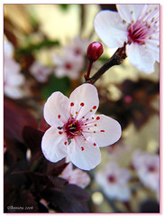 Prunus ( Annieta  Off / On) Tags: pink espaa flower color colour nature fleur canon ilovenature spain natuur powershot g2 fiori 2008 colori spanien allrightsreserved spanje roze prunus bloem ilovephotography februari fevrier kleur costablanca powershotg2 kersenbloesem canonpowershotg2 lamarina supershot annieta theworldthroughmyeyes thebiggestgroup kakadoo datacline fabulousflowers eliteimages coolestphotographers goldsealofquality natureselegantshots excellentsflora mimamorflowers natureframeshot usingthisphotowithoutpermissionisillegal
