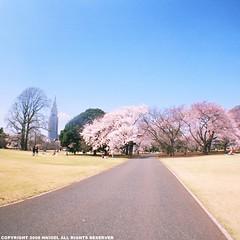 fisheye 櫻花