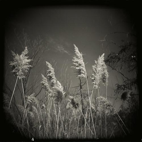 holga_reeds