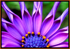 Pick of the bunch (-caz-) Tags: orange macro love nature petals pretty purple natural centre violet petal stamen bunch daisy pick africandaisy ultraviolet purpleflower fff purpleflowers macroflowers osteospermum flowermacro flowermacros macroflower freeflickrflowers