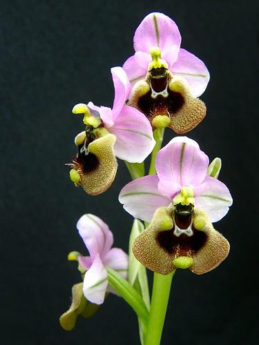 Ophrys ficalhoana ( = O.tendhredinifera subsp. ficalhoana ) 2506851114_d7a7186dce
