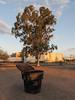 Typical trashcan and typical red gum on a typical evening in Tucson. (Tim Kiser) Tags: 2015 20151004 annapolisdrive arizona arizonalandscape eastirvingtonroad eucalyptuscamaldulensis img5446 irvingtonroad october october2015 pimacounty pimacountyarizona rudygarciapark southannapolisdrive tucson tucsonarizona tucsonlandscape blackplastic blackplasticgarbagebin blackplasticgarbagecan blackplastictrashcan chainlink chainlinkfence citypark distantfence eucalyptus eveninglandscape eveningsun fence garbagebin garbagecan gravel landscape largegarbagecan largetrashcan mostlysunny park plasticgarbagebin plasticgarbagecan plastictrashcan redgum redgumeucalyptus riverredgum riverredgumeucalyptus shadetree southarizona southsideoftucson southeastarizona southeasternarizona southernarizona southerntucson sundown sunset sunsetlandscape trashcan tree urbanlandscape view unitedstates