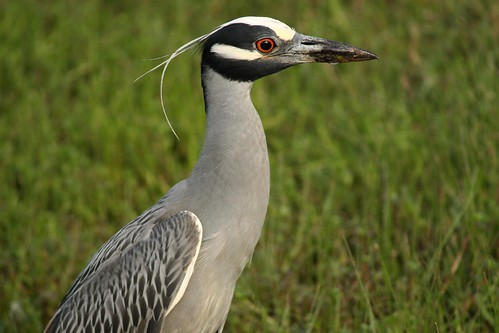 Yellow-crowned Night-Heron - 5/5/2009
