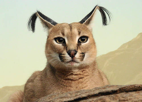 Caracal at Cincinnati Zoo by p...
