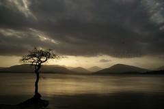 Oak tree (Sue Langford) Tags: tree oak lochlomond pentaxk100dsuper