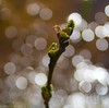 20090516_9999_69b (Fantasyfan.) Tags: plant nature topv111 tag3 taggedout finland spring topv555 topv333 tag2 tag1 bokeh topv999 topv777 oulu sprout alppila fantasyfanin matchpointwinner siirretty