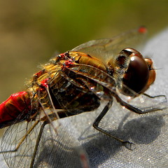 Steenrode heidelibel (Sympetrum vulgatum) Close Up (Ger Bosma) Tags: red macro closeup dragonfly rood libel sympetrumvulgatum steenrodeheidelibel vagrantdarter dscn2429 mygearandme mygearandmepremium mygearandmebronze mygearandmesilver ringexcellence