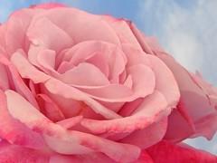 pink rose - by Lyubov